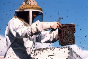 Bee keeper in protective gear with bees on comb