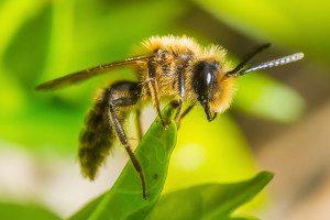 Bee-Scyrene-300x200