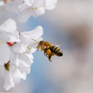 Flying-honeybee-sq