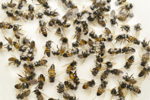 Dead Bees Colony Collapse Disorder